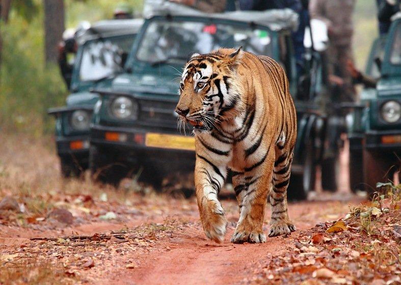 Le tourisme sauvera-t-il les tigres en Inde ? dans Je l'ai lu dans le journal! tigre-1