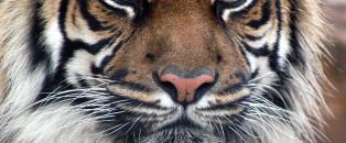 Le tourisme sauvera-t-il les tigres en Inde ?
