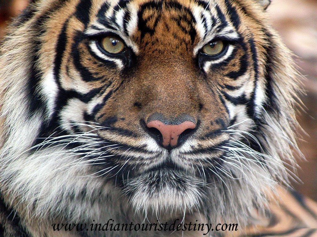 tigre-2 Cour Suprême dans Un peu de tourisme entre amis